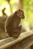 Macaque som tillbaka ser Fotografering för Bildbyråer