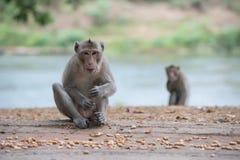 Macaque som tuggar muttrar royaltyfria bilder