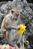 Macaque som undersöker en hinduisk blomma Royaltyfri Foto