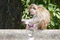 Macaque - Sri Lanka Stock Image