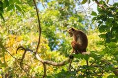 Macaque srilanqués de la toca Fotografía de archivo libre de regalías