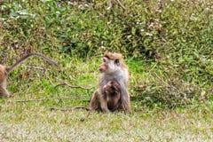 Macaque srilanqués de la toca Imagen de archivo libre de regalías