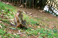 Macaque srilanqués de la toca Foto de archivo