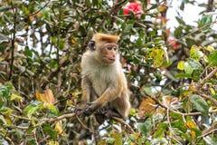 Macaque srilanqués de la toca Fotografía de archivo