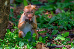 Macaque srilanqués de la toca Imagen de archivo