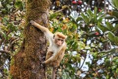 Macaque srilanqués de la toca Fotos de archivo libres de regalías