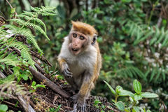 Macaque srilanqués de la toca Foto de archivo libre de regalías
