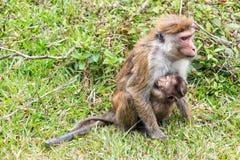 Macaque srilanqués de la toca Imágenes de archivo libres de regalías