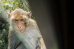 Macaque staring eye Stock Photography