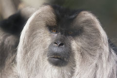 Macaque suivi par lion Images stock