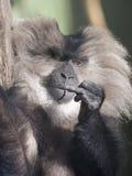 Macaque suivi par lion Photographie stock