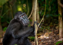 черный macaque sulawesi Индонесии Стоковая Фотография RF