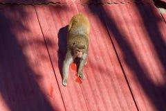 Macaque sur un toit glissant image libre de droits