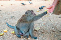 Macaque takes corn from a man`s hand. Monkey treat delicacy. royalty free stock photography