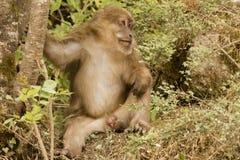 Macaque tibetano masculino relajado en arbustos, frontal VI Fotos de archivo libres de regalías