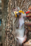 Macaque in the Tiger cave temple, Krabi, Thailand Stock Image