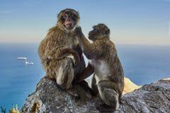 Macaque till Gibraltar Arkivbilder