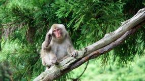 Snow monkey scratching behind the ears in Jigokudani, Japan