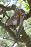 Macaque on treetop Stock Images