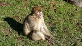 Macaque stock footage