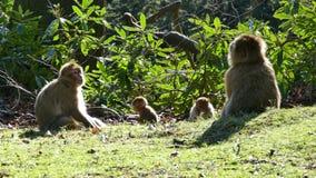 Macaque stock video