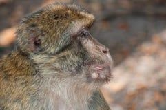 macaque viejo en el bosque fotos de archivo
