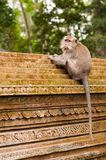 Macaque on the wall in Ubud Stock Photography