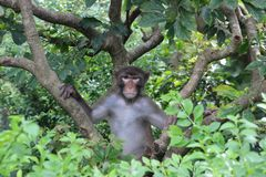 Macaque watching us at Kam Shan Country Park Stock Photography