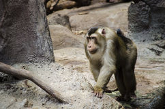 Macaque Royalty Free Stock Photography