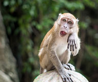 A macaque wipes its face in Gombak Stock Image