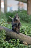 Macaque Wonders Royalty Free Stock Photo