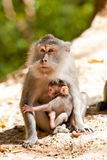 Macaque with young. Mother macaque with her young by the roadside, Indonesia Stock Photo