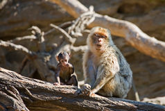 Macaque Royalty Free Stock Photo