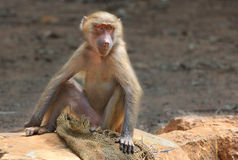 Macaque in the Zoo. Royalty Free Stock Photography