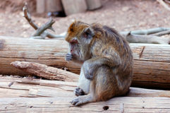 Macaque in zoo. Stock Photo