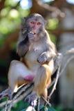 macaque2 ο ρήσος μακάκος Στοκ Φωτογραφία