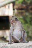 Macaqueaap Stock Fotografie