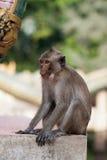 Macaqueaap Stock Afbeeldingen