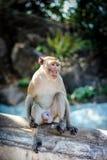 Macaqueaap in Aapbos Stock Foto