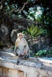 Macaqueaap in Aapbos Stock Afbeeldingen