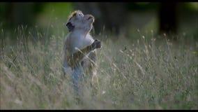 Macaqueaap die vijgeboomvruchten eten stock footage