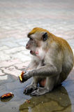 macaqueapa arkivfoto
