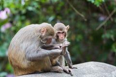 Macaqueapa Royaltyfri Bild