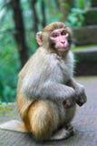 Macaqueapa Royaltyfria Bilder