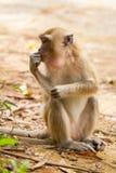Macaqueapa i Thailand Fotografering för Bildbyråer