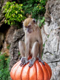 Macaqueapa på Batu grottor, Kuala Lumpur, Malaysia Arkivbild