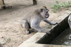 Macaqueapa som förbereder sig att dricka vatten Arkivbilder