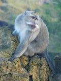Macaqueapa upptill av den Batur vulkan Royaltyfria Foton