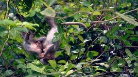 Macaqueapen die, Da Nang, Vietnam vechten Royalty-vrije Stock Foto