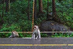 Macaqueapen op de straat in Sihanoukville, Kambodja Stock Fotografie